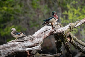 Bookends. Woodduck Pair at Greenfield Park. Looking awesome. #woodduck #imagesbylemke #duck #waterfowl #milwaukeecountyparks #birdsofinstagram